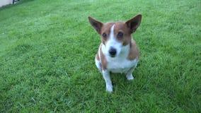Jack bonito Russell Terrier vídeos de arquivo