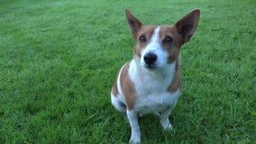 Jack bonito Russell Terrier video estoque