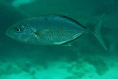 JAck (Carangoides bajad) Royalty Free Stock Photos