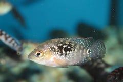 Jack Dempsey aquarium fish Stock Image
