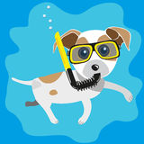 Jack dive. Funny character  jack russell terrier snorkel dive Royalty Free Stock Photo