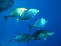 Jack fish. A school of jack fish Royalty Free Stock Photos