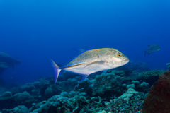 Jack fish close up. Jack fish hunting for small fish on coral reef Royalty Free Stock Photo