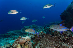 Jack fish. Hunting for small fish on coral reef Stock Photo