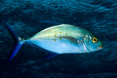 Jack fish near the survace stock photography
