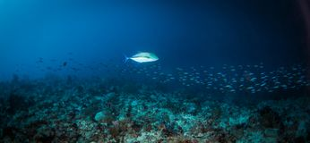 Silver Jack fish swimming above  with school of smaller bait fish on a coral reef. Jack fish  swimming with school of smaller bait fish on a coral reef Royalty Free Stock Photo
