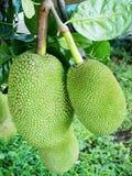 Jack-Früchte. Stockfoto