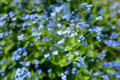 Jack Frost kwiat Obrazy Stock