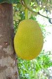 Jack-Frucht auf Baum Stockfotos