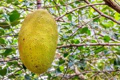 Jack-Fruchtfrucht Thailand stockfotos