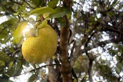 Jack Fruit Lizenzfreie Stockfotografie