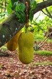 Jack Fruit immagine stock