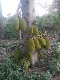 Jack Fruit stock afbeeldingen