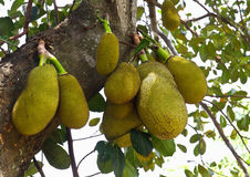 Jack Fruit Stock Image