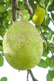 Jack fruit Stock Photo