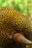 Jack fruit. Close up in the garden Royalty Free Stock Image