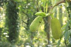 Jack fruit. A small jack fruit in Kodaikanal, Tamilnadu, India Stock Images