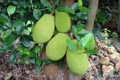 Jack fruit Royalty-vrije Stock Foto