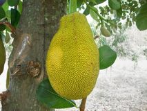 Jack fruit. On the tree Royalty Free Stock Photography