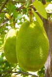 Jack Fruit Image libre de droits