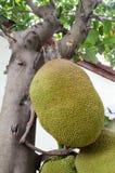 Jack Fruit Arkivfoton