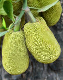 Jack Fruit Stockfoto