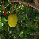 Jack Fruit Photographie stock