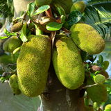 Jack Fruit Fotos de Stock