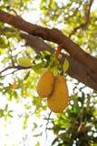 Jack Fruit Fotos de Stock