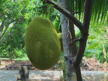 Jack Fruit Immagine Stock