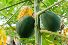 Jack Fruit Royaltyfria Bilder