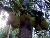 Jack Fruit fotografie stock