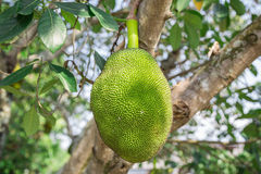 Jack fruit on the bacjground. Royalty Free Stock Photography