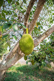 Jack fruit on the bacjground. Jack fruit is sweet, tasty and healthy Stock Photography