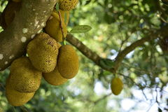 Jack fruit. Royalty Free Stock Photo