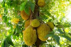 Jack fruit Royalty Free Stock Photo