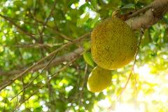 Jack fruit Stock Photo