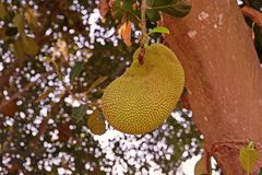 Jack fruit, the exotic topical fruit with aroma and sweet. Fruit tree Royalty Free Stock Images