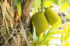 Jack fruit Stock Images