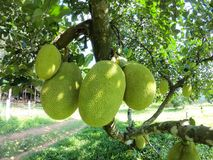 Jack fruit in garden Stock Image