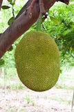 Jack fruit. In garden at countryside Royalty Free Stock Photography