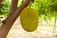 Jack fruit. In garden at countryside Royalty Free Stock Images