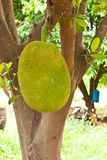Jack fruit. In garden at countryside Stock Photography