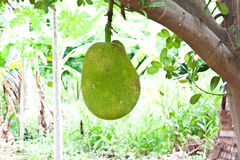 Jack fruit. In garden at countryside Stock Photo