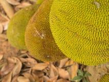 Jack Fruit in The Garden Stock Image
