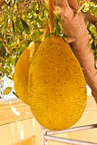 Jack fruit. At garden in thailand Stock Photos