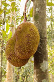 Jack fruit gowing in tree Royalty Free Stock Photography