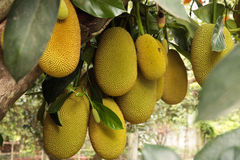 Jack fruit gowing in tree Royalty Free Stock Photos
