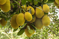 Jack fruit gowing in tree Royalty Free Stock Image