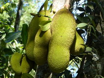 Jack fruit Stock Images